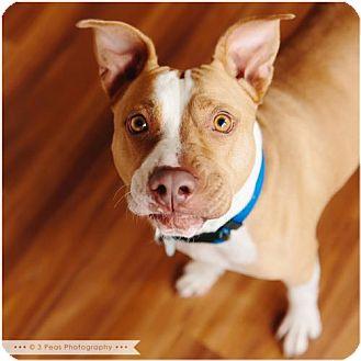 American Pit Bull Terrier Mix Dog for adoption in Edina, Minnesota - Ivie D141456: PENDING ADOPTION