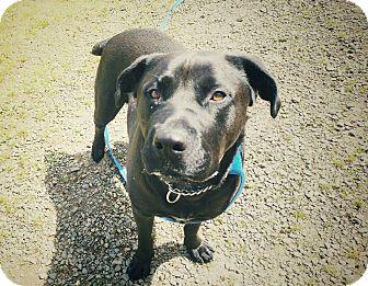 Rottweiler/Labrador Retriever Mix Dog for adoption in Tillamook, Oregon - Betty