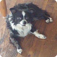 Adopt A Pet :: Maximillion-ADOPTION PENDING - Livonia, MI