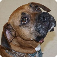 Boxer Mix Dog for adoption in Holly Springs, North Carolina - Happy