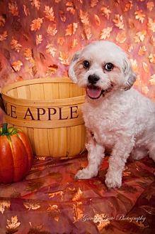 Shih Tzu/Poodle (Miniature) Mix Dog for adoption in Elizabethtown, Pennsylvania - Norm