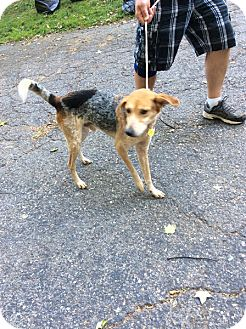 Shepherd (Unknown Type) Mix Dog for adoption in Tenafly, New Jersey - Hobie