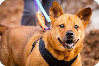 Shepherd (Unknown Type)/Chow Chow Mix Dog for adoption in Rockaway, New Jersey - Clyde Bailey
