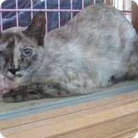 Siamese Cat for adoption in Polson, Montana - Harmony