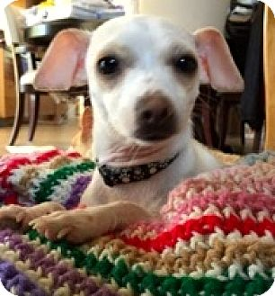 Chihuahua Dog for adoption in Ft Myers Beach, Florida - Two girls to love!!!