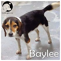 Adopt A Pet :: Baylee - Novi, MI