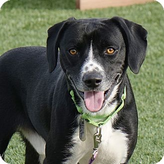 Beagle/Labrador Retriever Mix Dog for adoption in Columbia, Illinois - Snickers