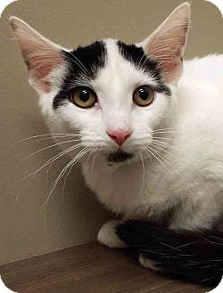 Domestic Shorthair Kitten for adoption in Shorewood, Illinois - Lily