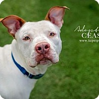 Pit Bull Terrier Mix Dog for adoption in Kansas City, Missouri - Ceasar