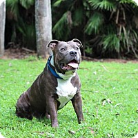 Pit Bull Terrier Mix Dog for adoption in Gainesville, Florida - Cassius