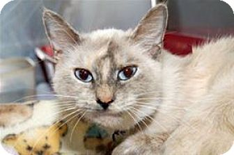 Balinese Cat for adoption in Mountain Home, Arkansas - Iris
