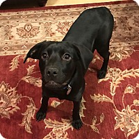 Labrador Retriever Mix Dog for adoption in Norwich, Connecticut - Delilah