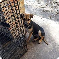 Adopt A Pet :: BRINKLEY - Mesa, AZ