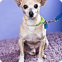 Adopt A Pet :: Chicolaca - Houston, TX