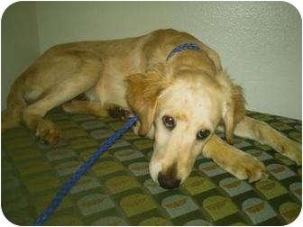 Golden Retriever/Spaniel (Unknown Type) Mix Dog for adoption in Los Angeles, California - Golden Mix