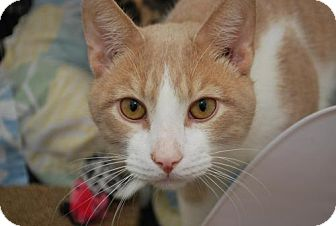 Domestic Shorthair Cat for adoption in Bensalem, Pennsylvania - Murphy