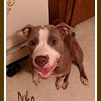 Adopt A Pet :: Duke - New Richmond,, WI