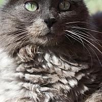 Domestic Longhair Cat for adoption in Tucson, Arizona - Uma