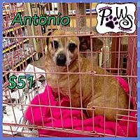 Adopt A Pet :: Antonio - Fowler, CA