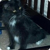Domestic Mediumhair Cat for adoption in Scottsdale, Arizona - PIXIE