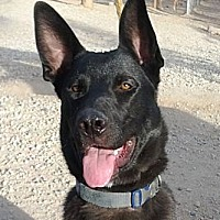 Shepherd (Unknown Type) Mix Dog for adoption in Toluca Lake, California - Jack Sparrow