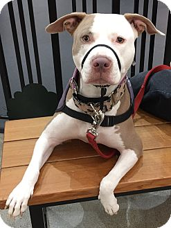 American Pit Bull Terrier Mix Dog for adoption in Lincoln, California - Daisy-GREAT W/ KIDS!!