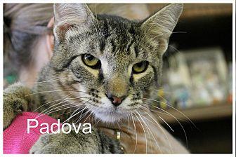 Domestic Shorthair Kitten for adoption in Wichita Falls, Texas - Padova