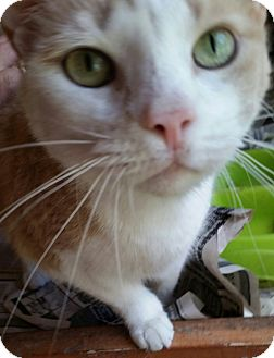 Hemingway/Polydactyl Cat for adoption in Ocala, Florida - SANDY