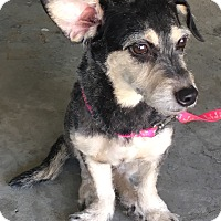 Chihuahua/Poodle (Miniature) Mix Dog for adoption in Riverside, California - Maddie