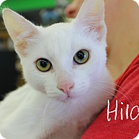 Domestic Shorthair Kitten for adoption in Wichita Falls, Texas - Hilda