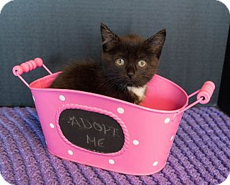 Domestic Mediumhair Kitten for adoption in Muskegon, Michigan - Ivy