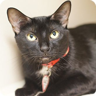 Domestic Shorthair Cat for adoption in East Hartford, Connecticut - Gigi