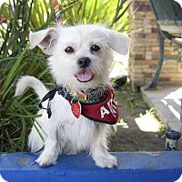 Adopt A Pet :: Pauly Wiggles - Van Nuys, CA