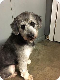 Poodle (Standard)/Labrador Retriever Mix Dog for adoption in Agoura Hills, California - 'OLIANG'