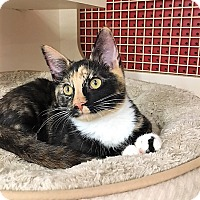 Calico Cat for adoption in Richmond, Virginia - Lake
