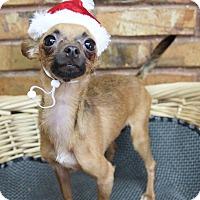 Adopt A Pet :: Teacup - Benbrook, TX