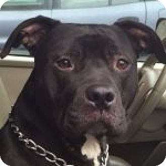 Labrador Retriever/American Pit Bull Terrier Mix Dog for adoption in Medford, Massachusetts - Juice