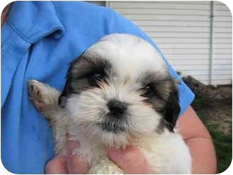 shih tzu rescue illinois shih tzu puppy female adopted puppy arlington heights 5491