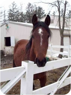 Arabian Mix for adoption in Dewey, Illinois - Willow