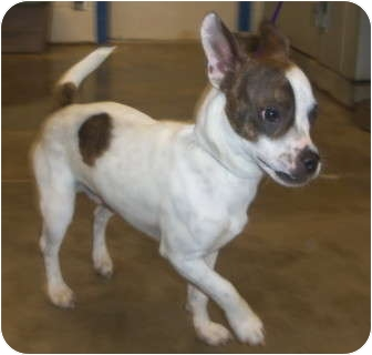 boston terrier jack russell snoopy adopted dog 35236 melbourne ky jack 4334