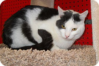 Domestic Shorthair Cat for adoption in Phoenix, Arizona - Jagger