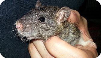 Rat for adoption in Lakewood, Washington - Agouti Hood Rex