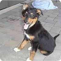 Adopt A Pet :: Guido - Gilbert, AZ