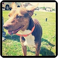 Adopt A Pet :: Shilo - Justin, TX