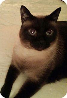 Siamese Cat Adoption Columbus Ohio