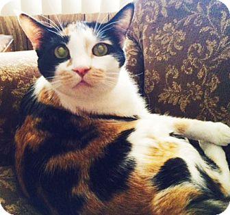 Calico Cat for adoption in Mesa, Arizona - Pico