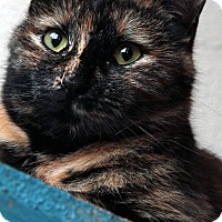 Domestic Shorthair Cat for adoption in St. Louis, Missouri - Ruth Bader Ginsburg