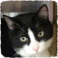 Adopt A Pet :: Synapse - Pueblo West, CO