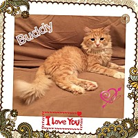 Maine Coon Cat for adoption in Harrisburg, North Carolina - Buddy