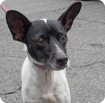 Rat Terrier Mix Dog for adoption in Loudonville, New York - Louise